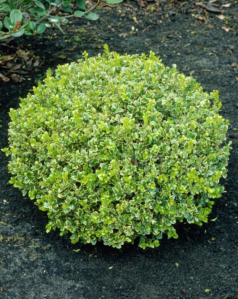 buchsb ume microphylla buxus microphylla pflanzen. Black Bedroom Furniture Sets. Home Design Ideas