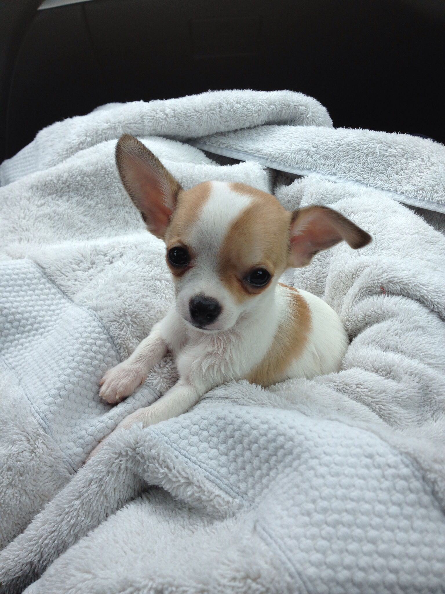 Bentley the Chihuahua♡ … Perros chiguagua, Perros