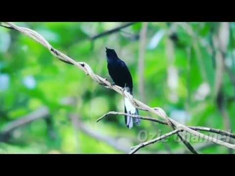 Murai Batu Hitam Youtube Murai Hitam Burung