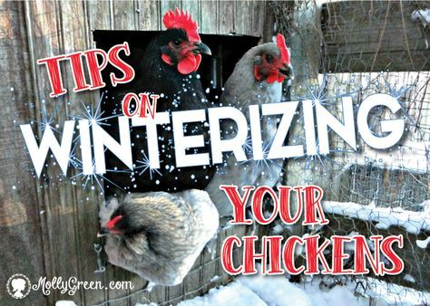 Winterizing Your Chickens: Keeping Warm Chickens in Winter ...