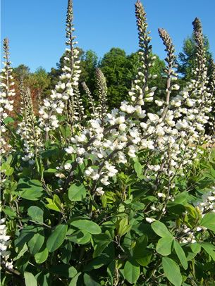 White wild indigo baptisia alba var macrophylla a for Plant with tall spikes of yellow flowers