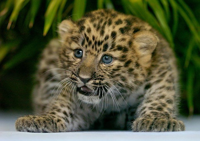 Baby Amur Leopard at Erie, PA Zoo; by Greg Wohlford