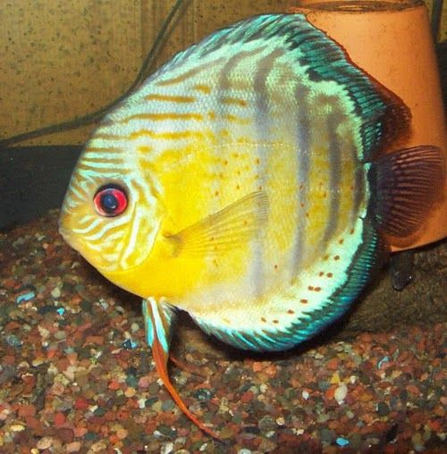 red_spotted_green+Discus.bmp (500×508)