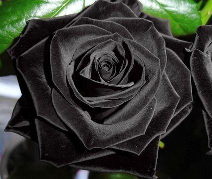 exotic plants rose schwarz schwarze rose 10 samen garten pinterest schwarze rosen. Black Bedroom Furniture Sets. Home Design Ideas
