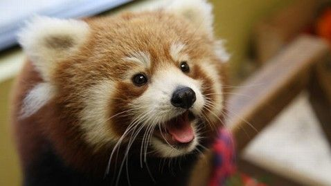 Red Pandas, Cursed by Their Adorable Looks, Face ...