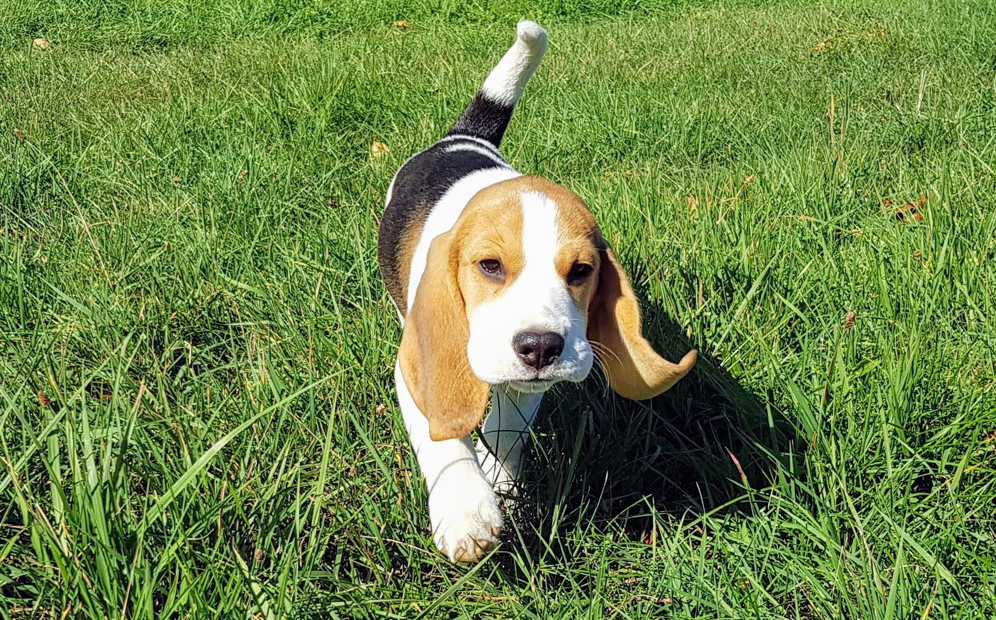 Big Ears Puppy Puppies Beagle Corgi