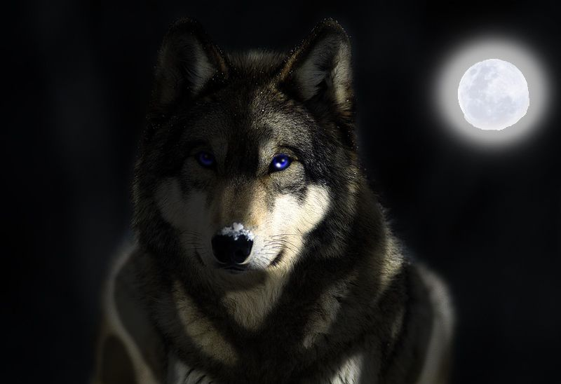 Wolf Wallpaper Binfind Search Engine Wolf Wallpaper Wolf Photos Grey Wolf