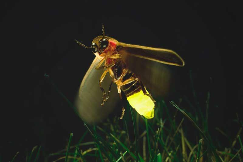 Qué come la luciérnaga?   Luciernagas, Insectos, Animales