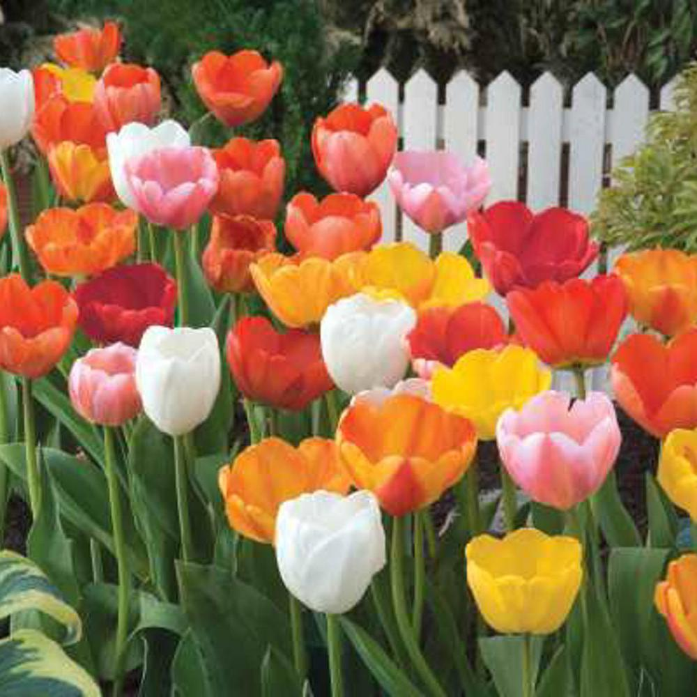 Van Bourgondien Mid Season Flowering Mixed Color Tulip Bulbs 100 Pack 87855 The Home Depot Tulip Bulbs Bulb Flowers Fall Plants