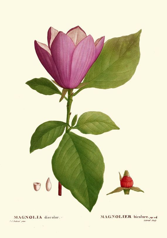antique french botanical print pink magnolia flower illustration digital download