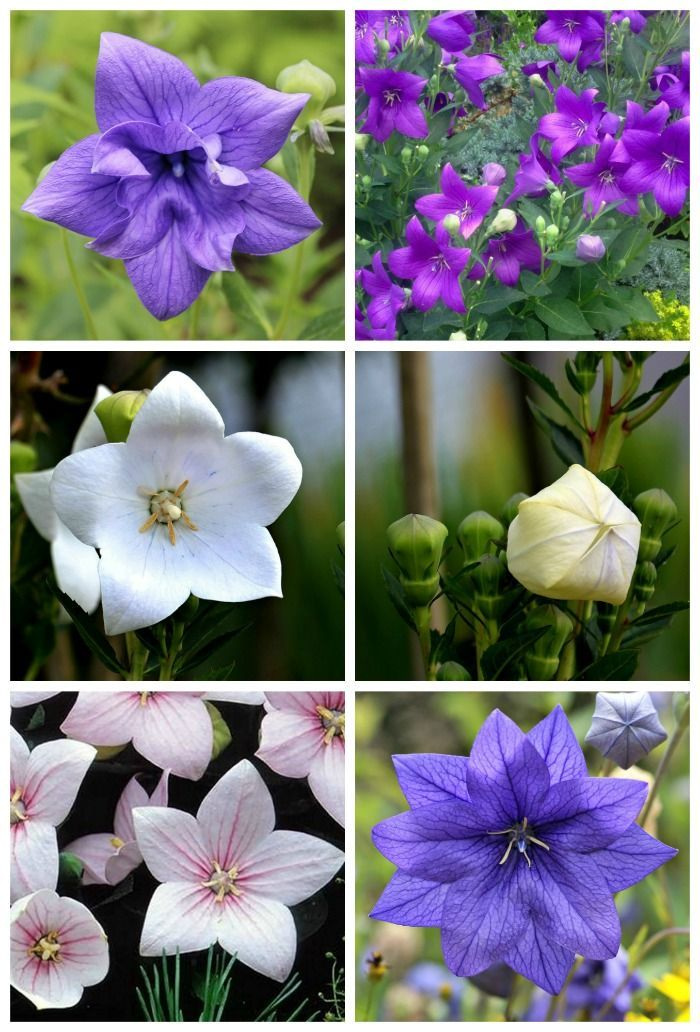 Balloon Flowers Come In Blue Purple Pink And White Both Double Single Varieties
