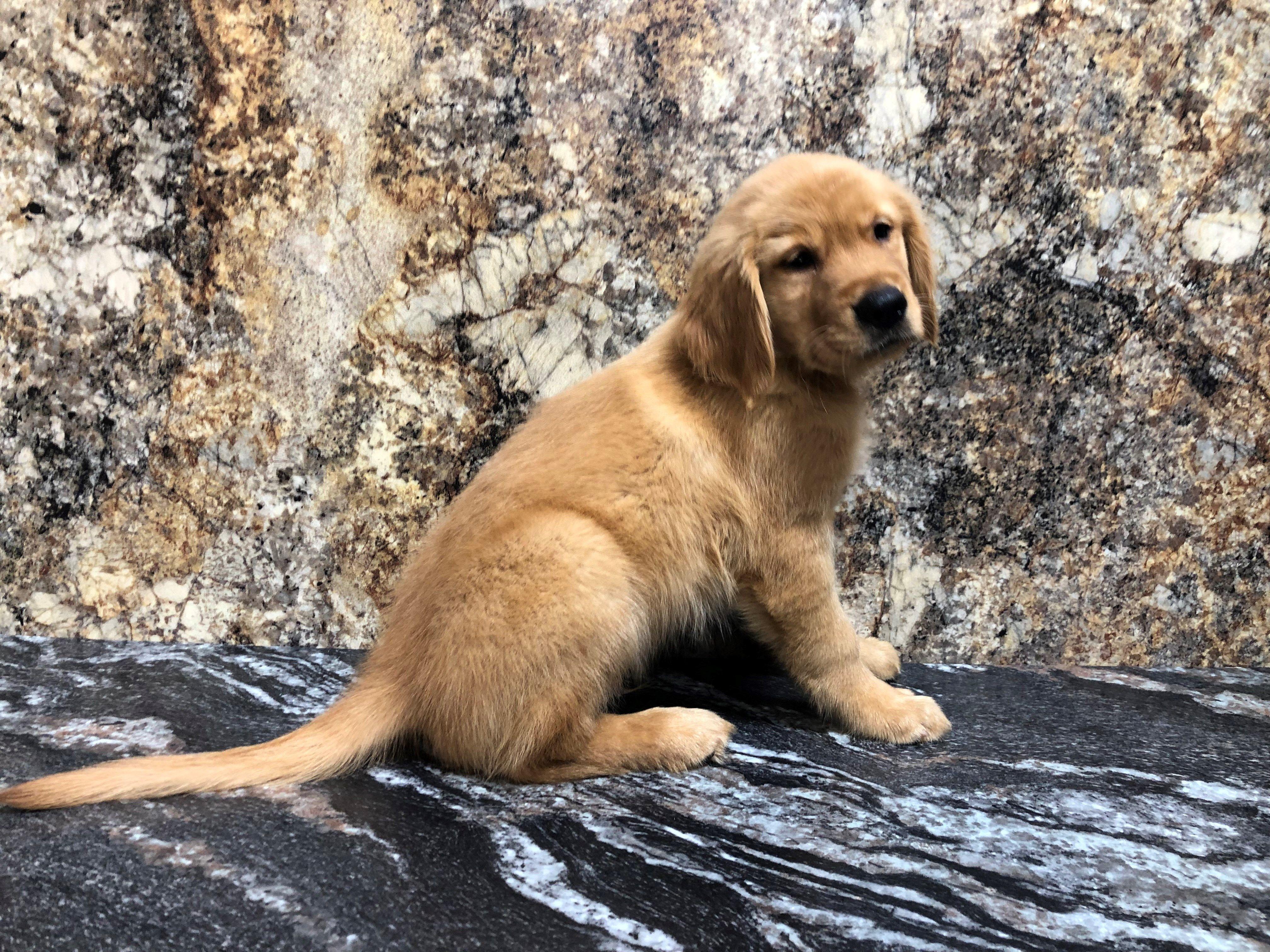 Petland Kansas City has Golden Retriever puppies for sale