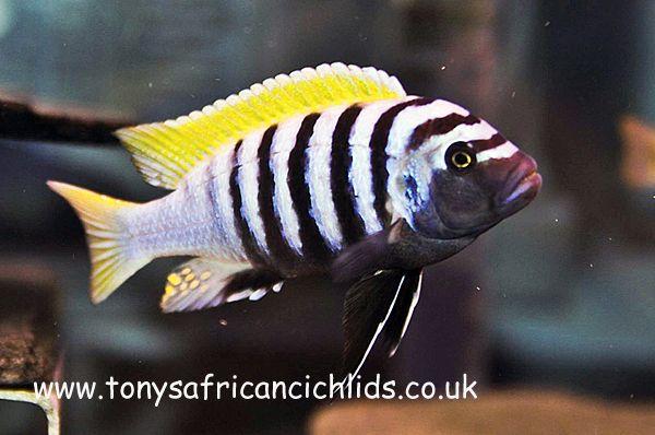 Cynotilapia Afra Jalo Reef Cichlid Fish Pinterest
