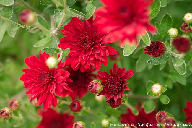 Love These Burgundy Coloured Chrysanthemums Late Flowering