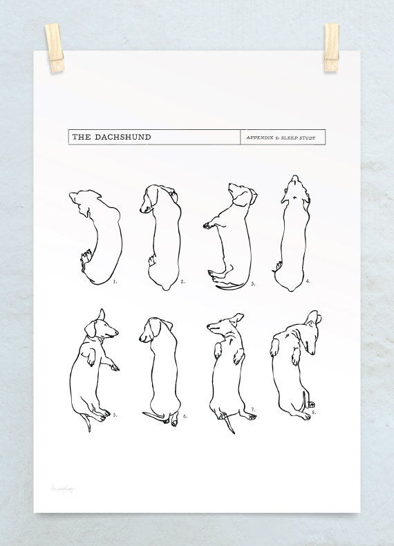 A3 Dachshund Sleep Study Art Print Illustrations Of My Pet