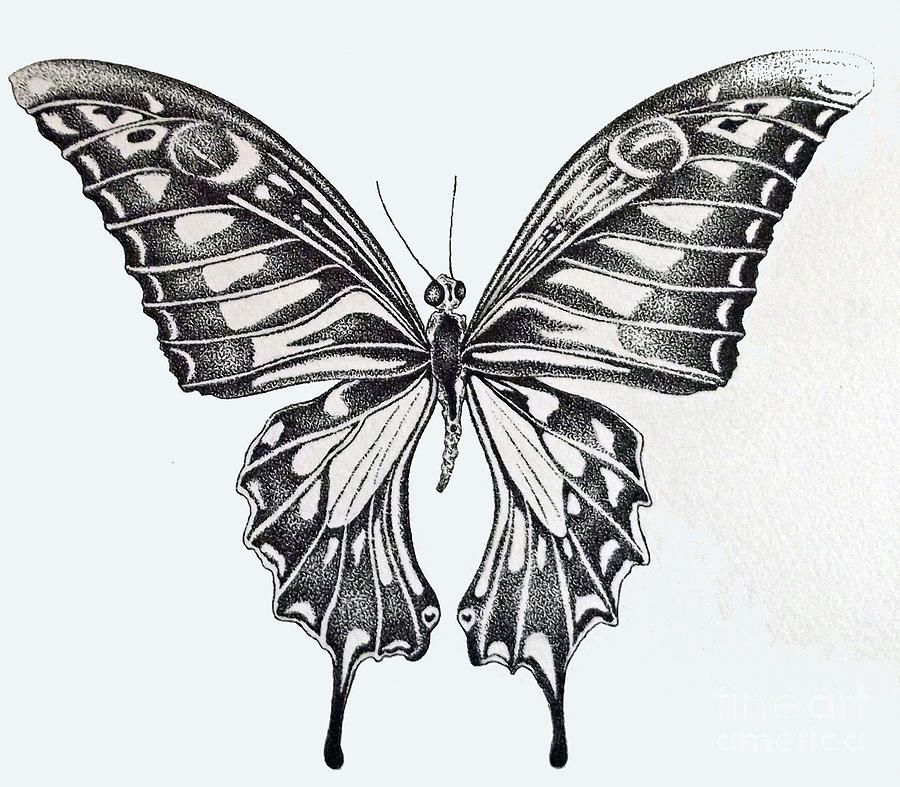 vanessa butterfly drawing images - 900×787