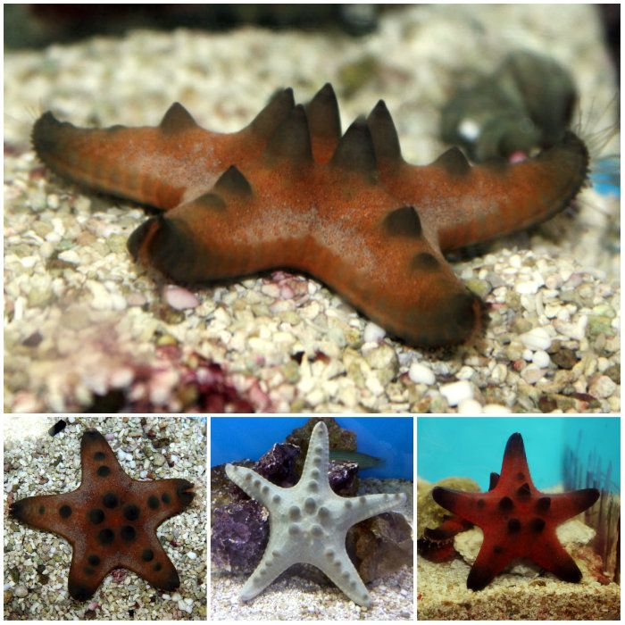 Chocolate Chip Starfish Protoreaster Nodosus Chocolate Chip Starfish Starfish Chocolate Chip