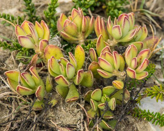 Adromischus Caryophyllaceus Succulents Plants Garden