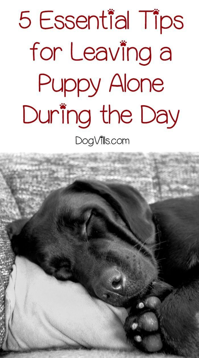 Leaving A Puppy Alone During The Day 5 Essential Tips Training