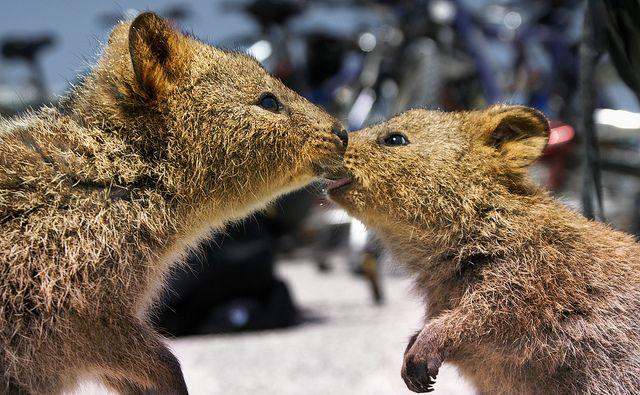 Image result for images of group of quokkas