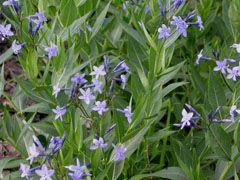 Cornell Bulb Perennial Combos Amsonia Blue Ice To Companion
