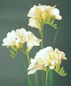 How To Grow Freesia Flower Indoors Steps To Planting Freesia Bulbs Freesia Flowers