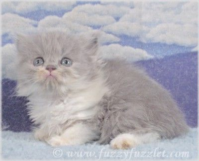 Virginia Doll Face Persian Ct Doll Face Persian Kitten For Sale Persian Cat Doll Face Persian Kittens Cute Cats And Dogs