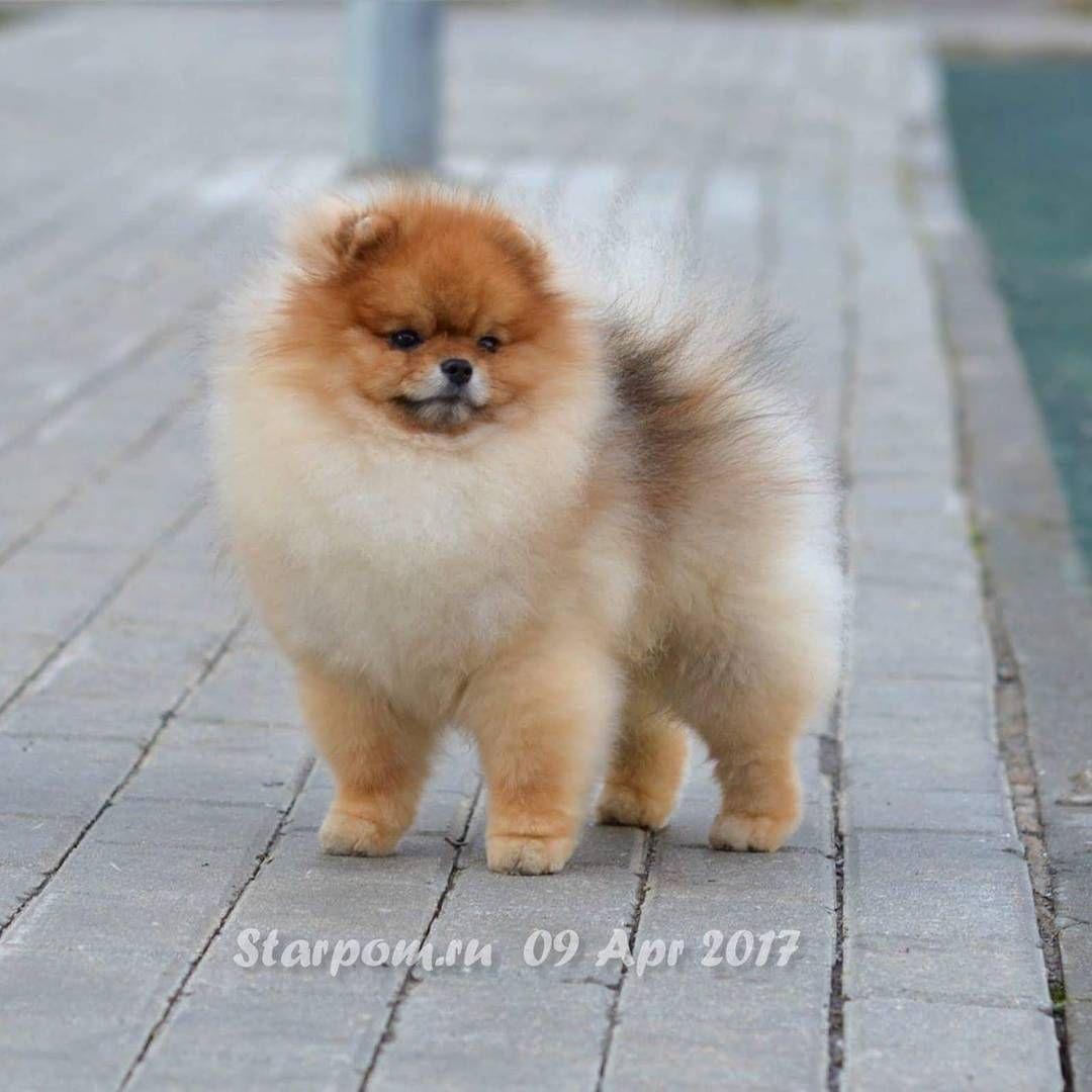 Starpomeranians Eduquer Votre Chien Education Positive Spitz Nain Labrador Pug Chien Mignon Dogs Animals Pomeranian