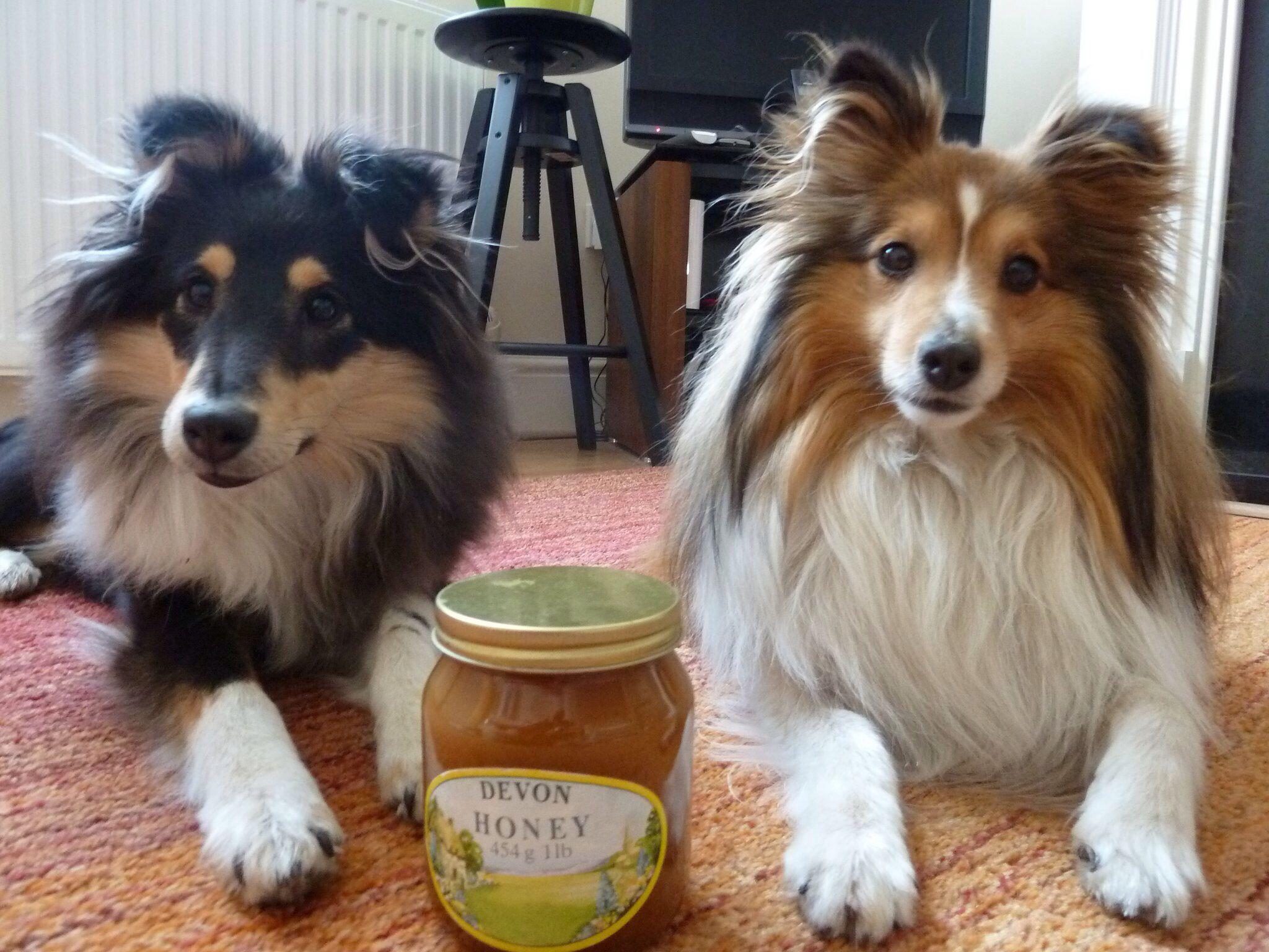 Got My Honey Honey Sheltie Love Mini Collie Sheltie Cute Dogs