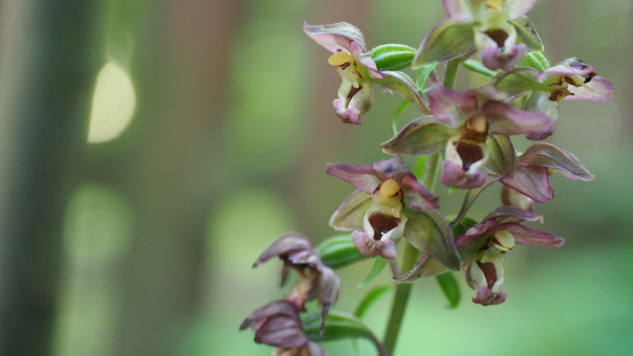 orchidee sauvage comestible