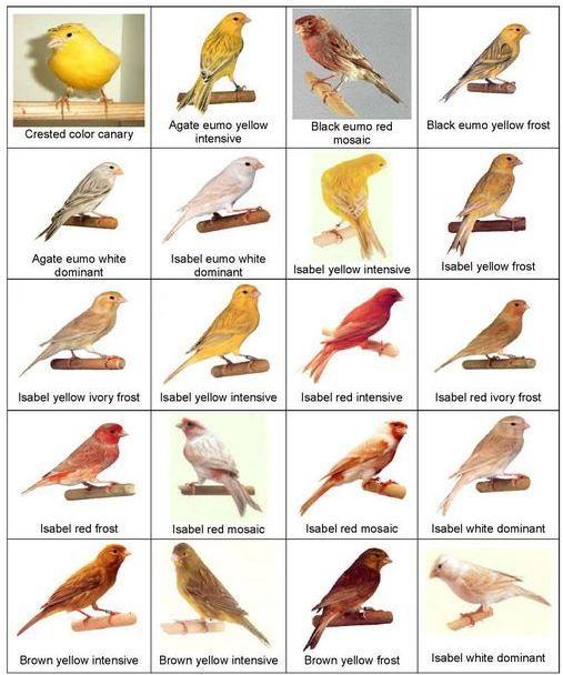 Kanarya Cesitleri 1 Burung Kenari Binatang