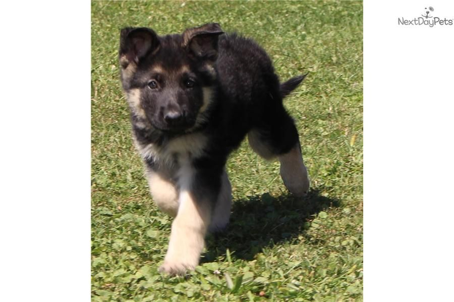 Meet Super Sized Male a cute German Shepherd puppy for