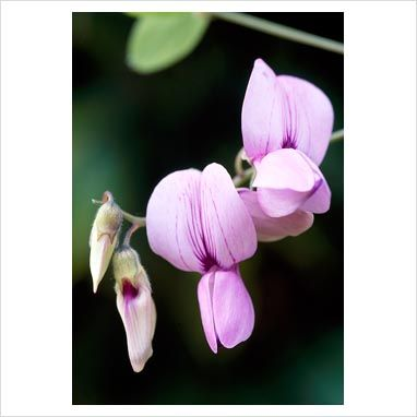 Lathyrus laetiflorus subsp. alefeldii. - San Diego Sweetpea