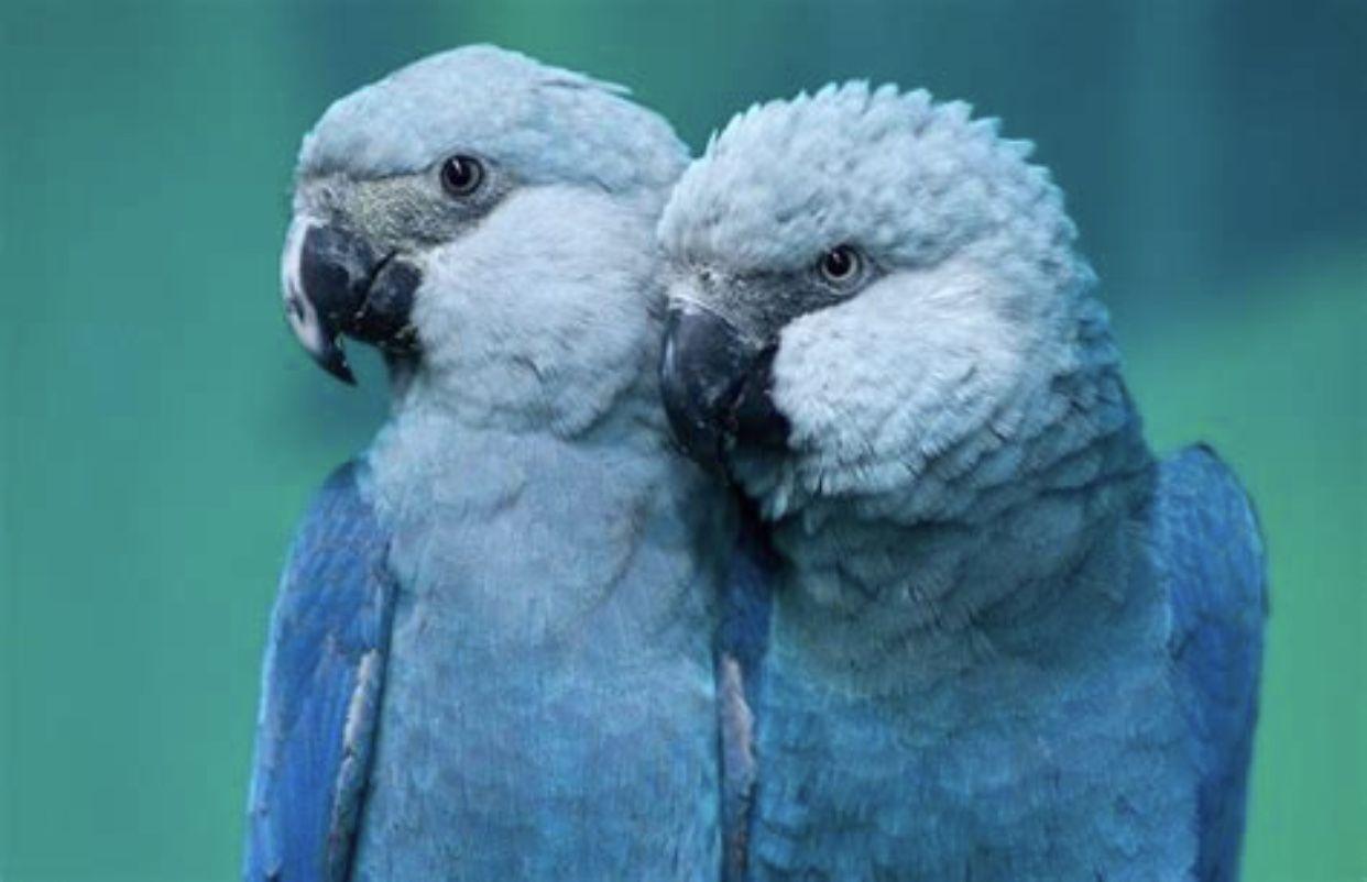 Spix Macaw Bird breeds