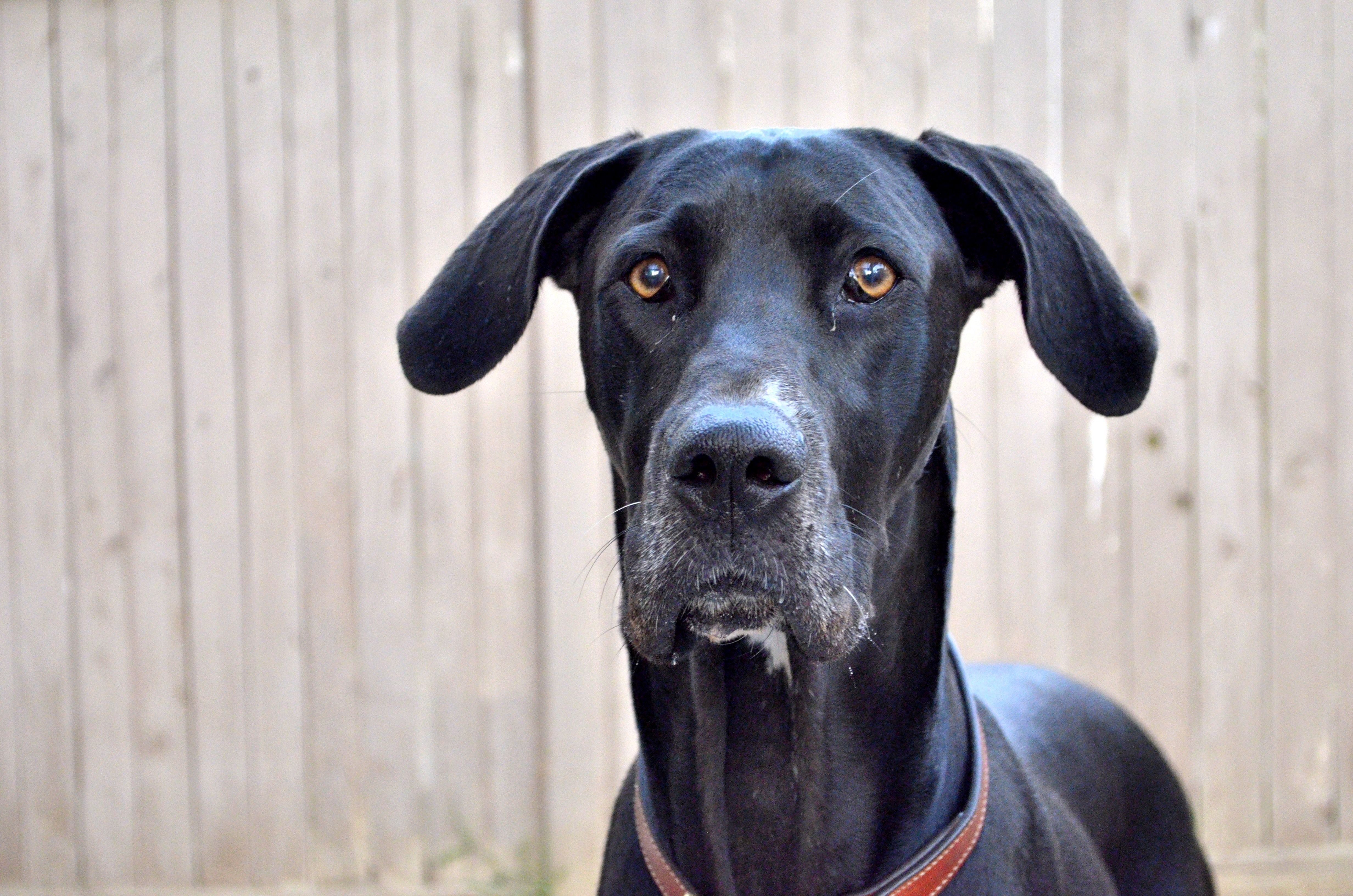 Italia Service Dog Mismarked Black Female Great Dane Service