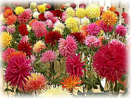 Flower Of The Month Dahlia Bulb Flowers Flower Pictures Dahlia Flower
