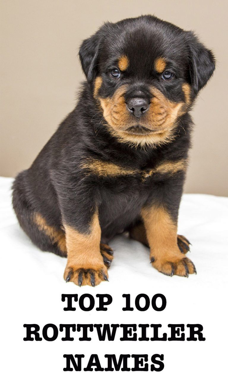 Rottweiler Names 100 Great Ideas For Naming Your Rottie Rottweiler Names Dog Names Rottweiler Facts