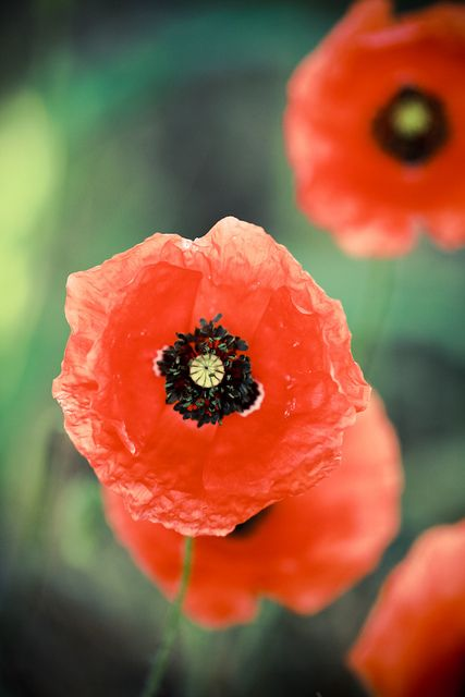 Poppies... by CasCriS on flickr