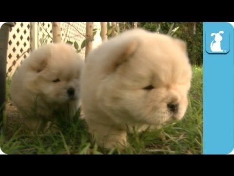 Fluffy Golden Chow Chow Puppies Puppy Love Cute Animals Chow