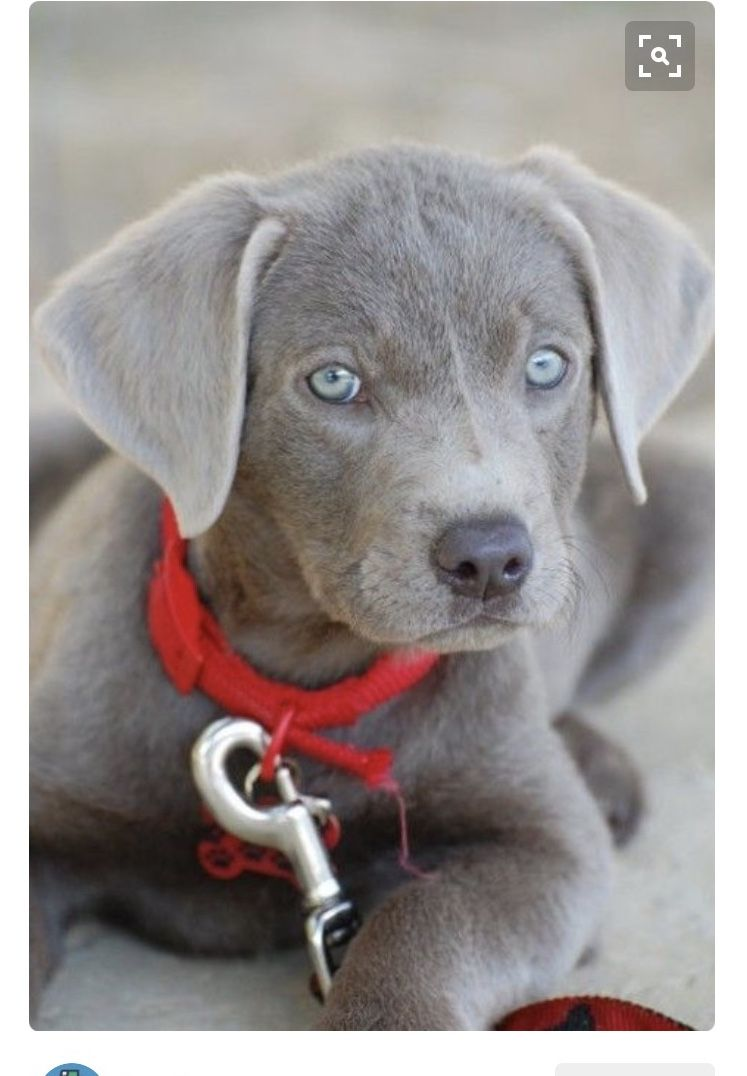 Pin by Ashley Wilson on MISC. Cute animals, Silver lab