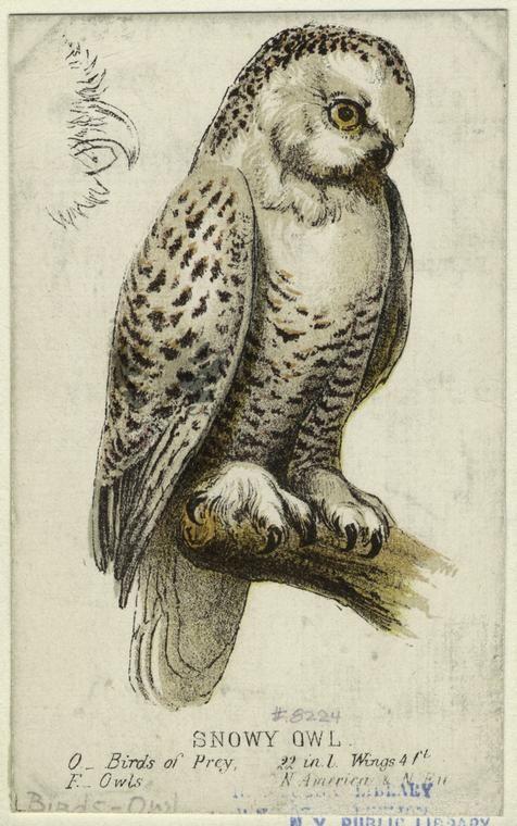Snowy Owl Id 821160 Nypl Digital Gallery Art Owls Drawing Bird Prints