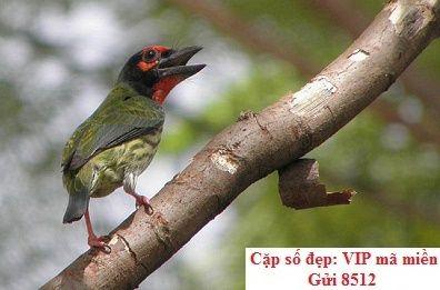 Những điều cần biết về chim Megalaima virens
