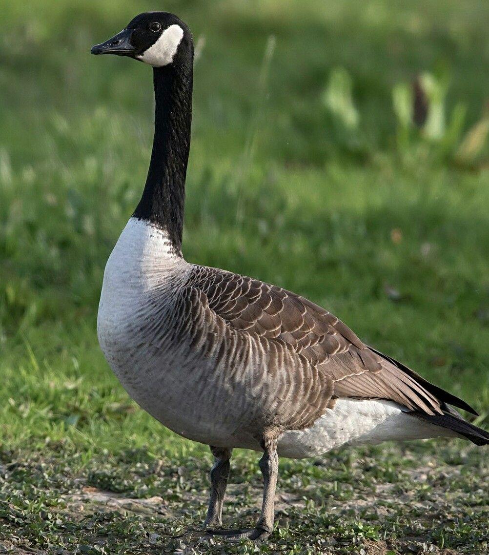 Canada Goose Canadian Goose Canada Goose Goose Costume