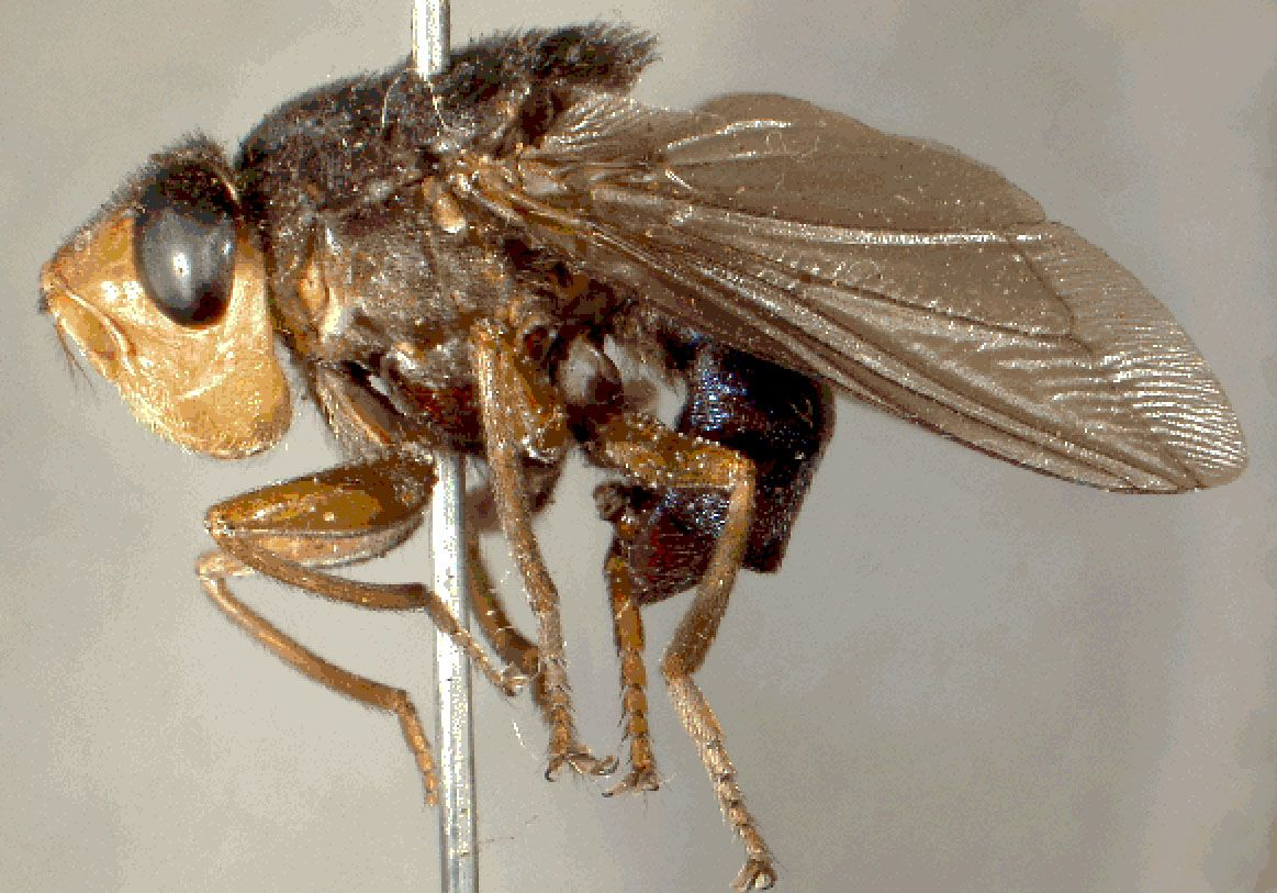 Human Botfly - Unfortunately, this gross atrocity can lay it's eggs