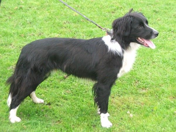 Border Collie Springer Spaniel Mix Puppies Image Search Results Springer Spaniel Puppy Images Border Collie Mix