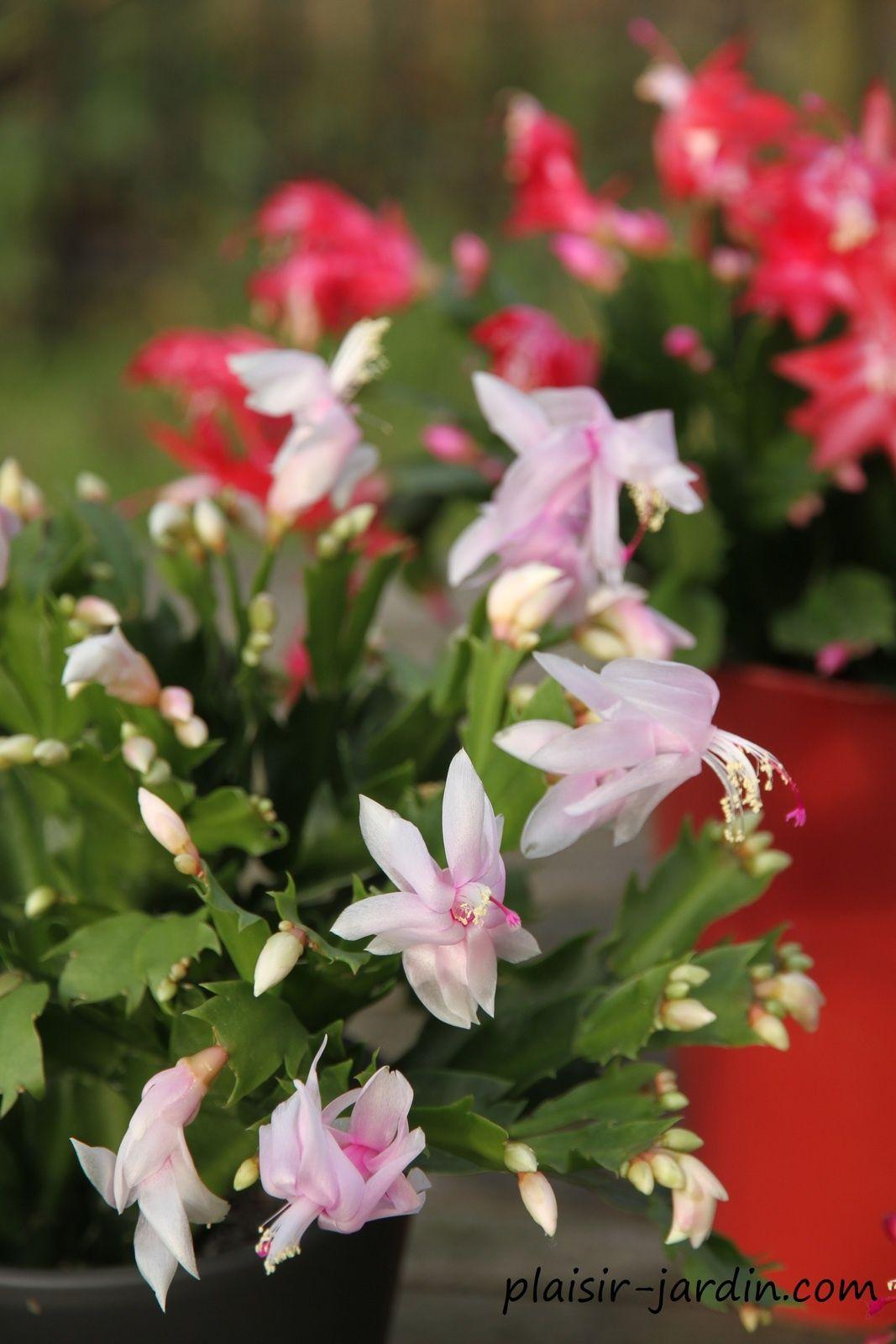 cultivez le schlumbergera ou cactus de noel (avec vidéo)   jardin