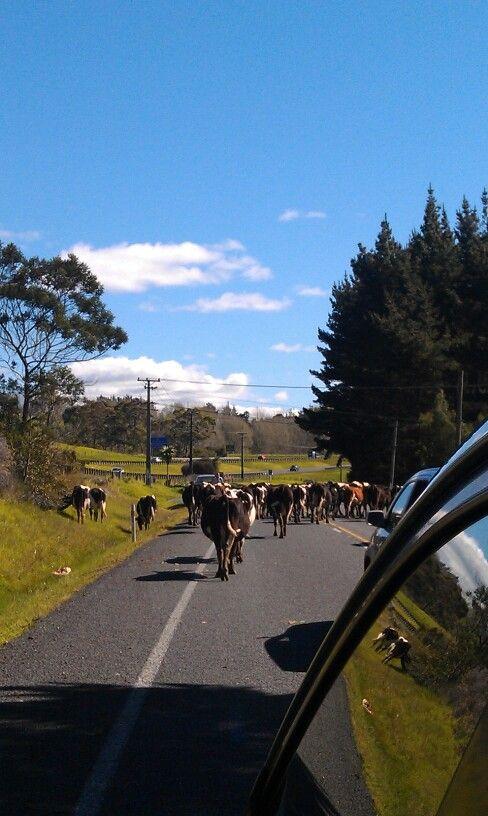 Cows on East Coast Bays