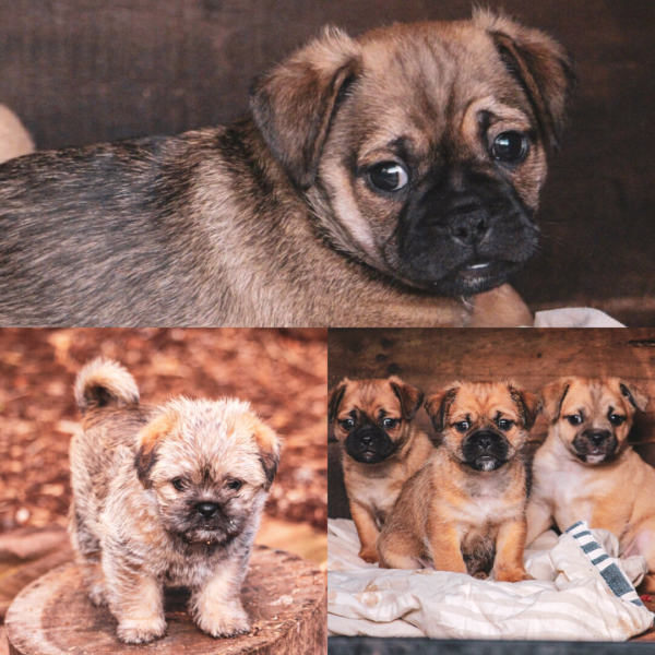 Jug (Pug x Jack Russell) Puppies Jack russell puppies