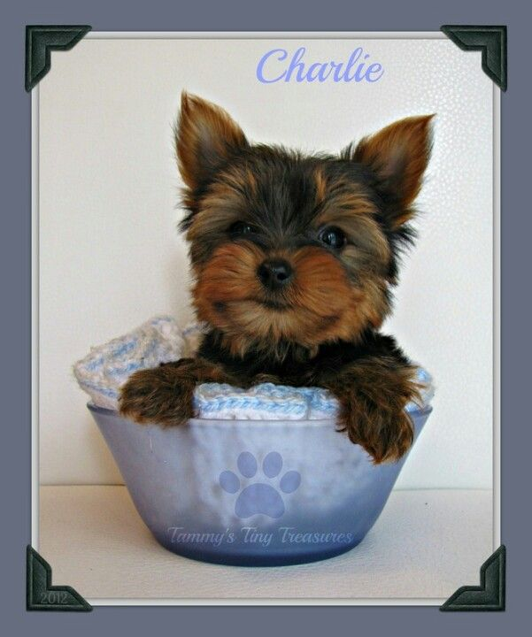 Tammy S Tiny Treasures Home Raised Sweet Little Yorkies Tammystinytreasures Weebly Com Perros