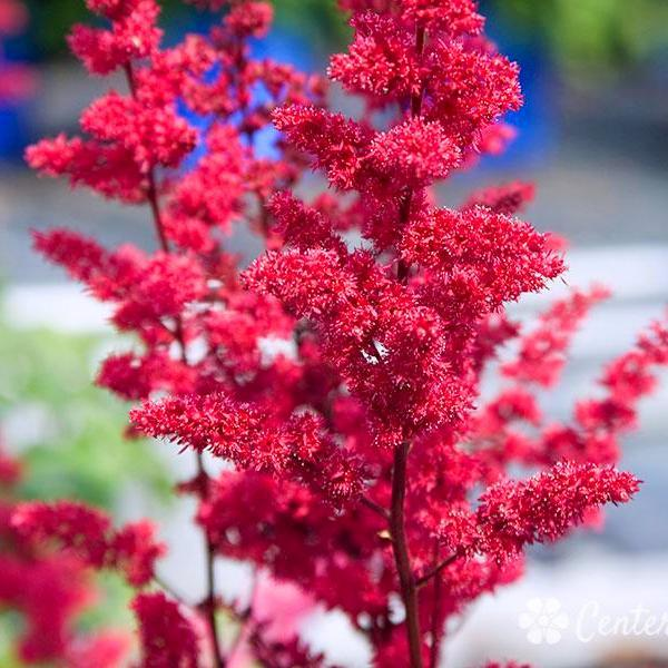 Astilbe X Arendsii Fanal Flowers Perennials Deer Resistant Garden Garden Plants